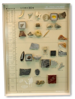 新・化石標本30種