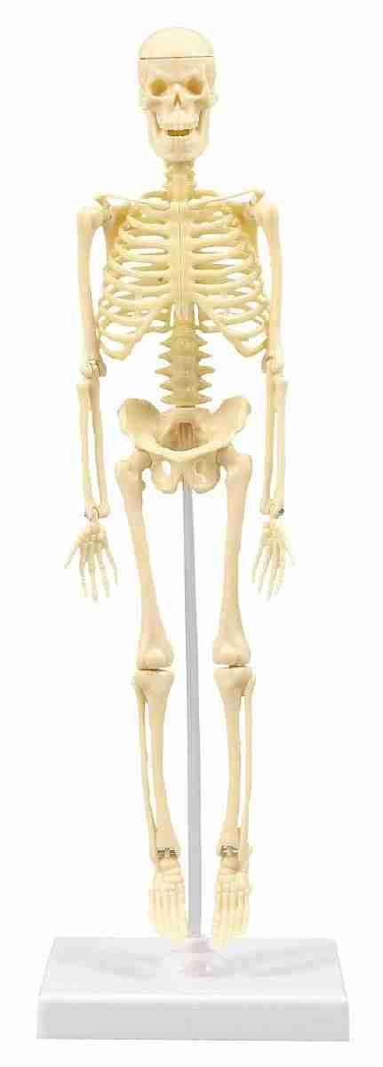 人体骨格模型 30cm学習セット(ケ-ス入) 教育 知育 おもちゃ 玩具 頭の体操 幼稚園 小学校 トイ ギフト 出産祝 卒園祝 卒業祝 キッズ 3980円以上送料無料