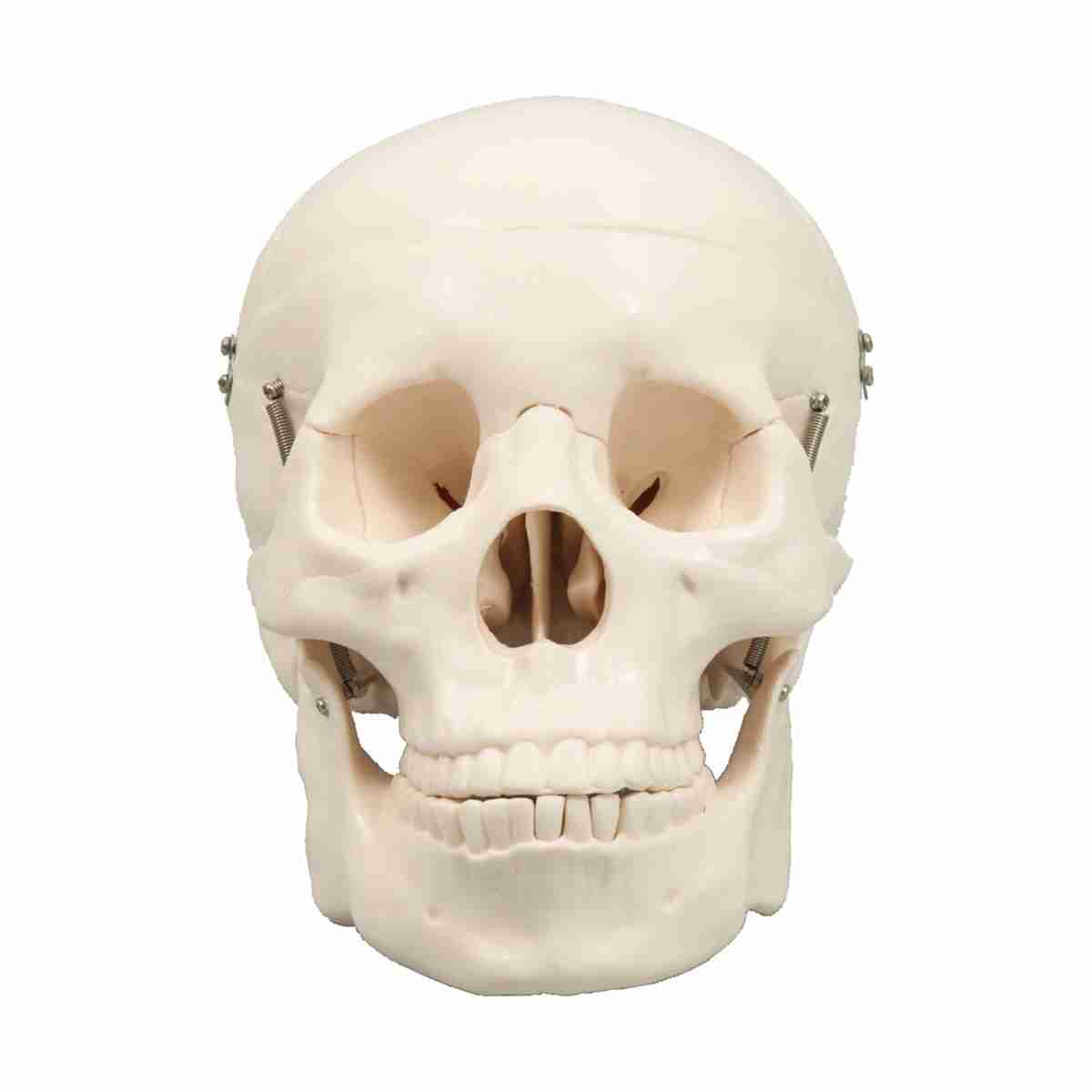 頭蓋骨模型 教育 知育 おもちゃ 玩具 頭の体操 幼稚園 小学校 トイ ギフト 出産祝 卒園祝 卒業祝 キッズ 3980円以上送料無料