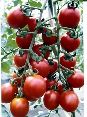 ピッコラ ルージュ  パイオニアエコサイエンスのミニトマト品種です。