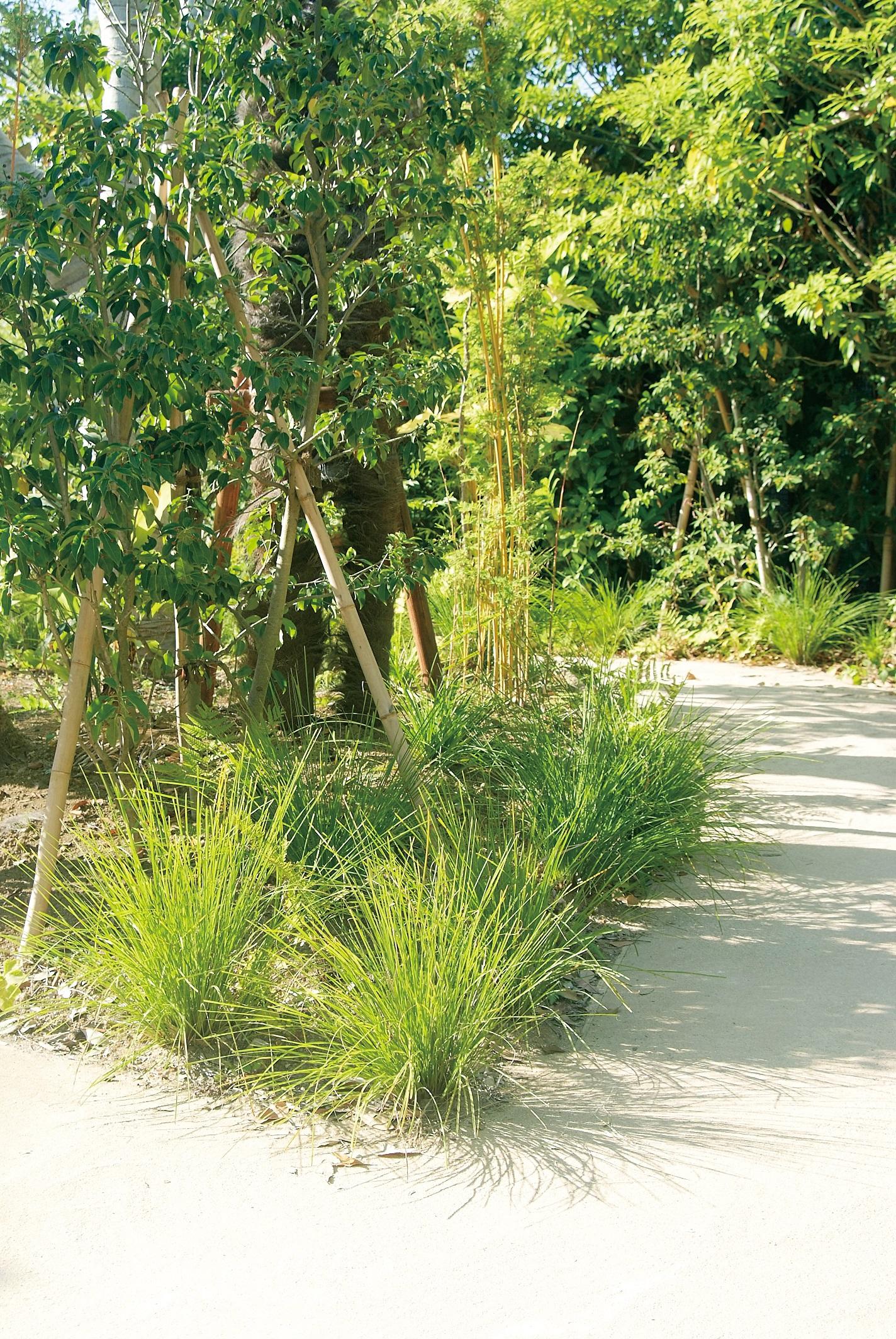 NITTOSEKKO 植物 在100 ロマンドラ 1本 新品 送料無料 グランドカバー 低草 祝日 タニカ