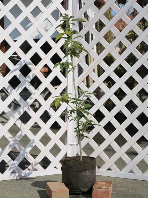 アラカシ単木 0.8m露地 5本セット 送料無料【1年間枯れ保証】【生垣樹木】
