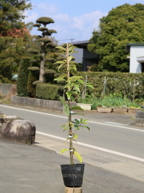 青々と自然風 アラカシ単木 0.6m15cmポット 20本セット 送料無料【1年間枯れ保証】【生垣樹木】