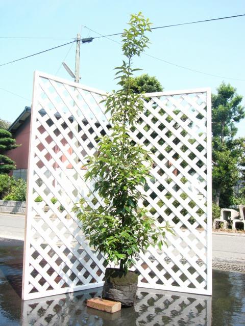 アラカシ単木 2.0m露地 1本【1年間枯れ保証】【シンボルツリー常緑】【配達指定不可/大型商品】