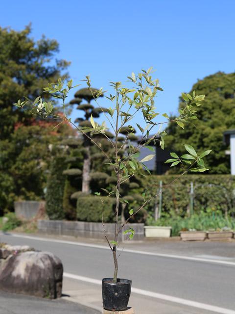 葉に毛がつく 実物 イチイガシ 0.3m10.5cmポット 1本 1年間枯れ保証 生垣樹木 国内正規品