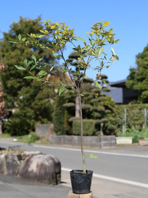 イチイガシ 0.7m10.5cmポット 15本セット 送料無料【1年間枯れ保証】【生垣樹木】