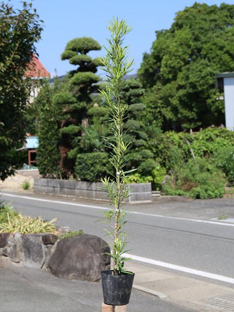 イヌマキ 0.8m15cmポット 12本セット 送料無料【1年間枯れ保証】【生垣樹木】