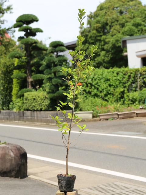 ウバメガシ 1.0m10.5cmポット 20本セット 送料無料【1年間枯れ保証】【生垣樹木】