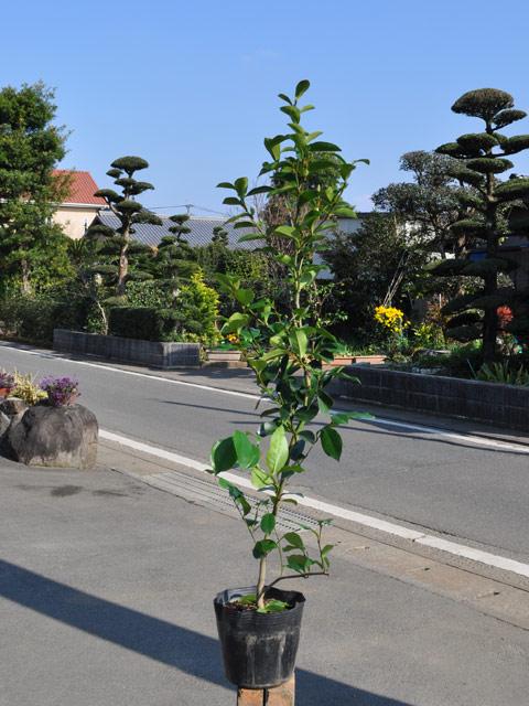 カラタネオガタマ 0.8m15cmポット 4本セット 送料無料【1年間枯れ保証】【春に花が咲く木】