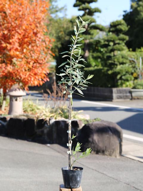 オリーブ 0.3m10.5cmポット 12本セット 送料無料【1年間枯れ保証】【葉や形を楽しむ木】