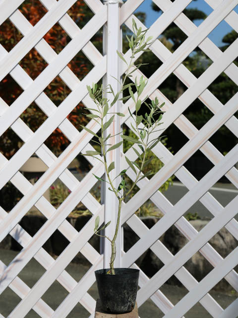 オリーブ 0.5m10.5cmポット 10本セット 送料無料【1年間枯れ保証】【葉や形を楽しむ木】