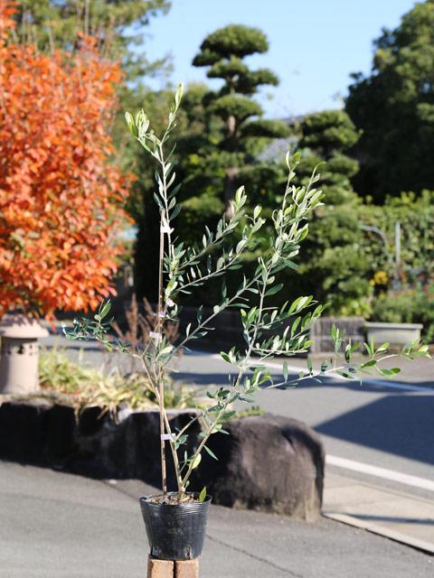 オリーブ 0.6m15cmポット 4本セット 送料無料【1年間枯れ保証】【葉や形を楽しむ木】