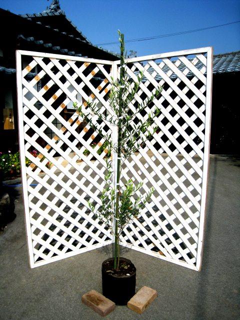 緑がきれい オリーブ 1.5m露地 1本 開店記念セール シンボルツリー常緑 1年間枯れ保証 商い