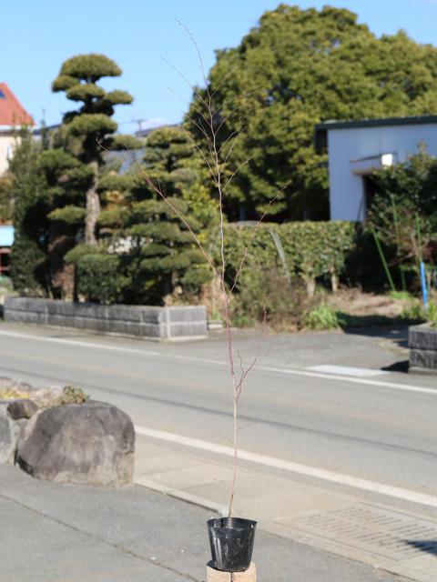 アカシデ 1.0m10.5cmポット 10本セット 送料無料【1年間枯れ保証】【山林苗木】