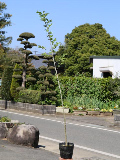 アブラチャン 1.2m15cmポット 6本セット【1年間枯れ保証】【雑木】