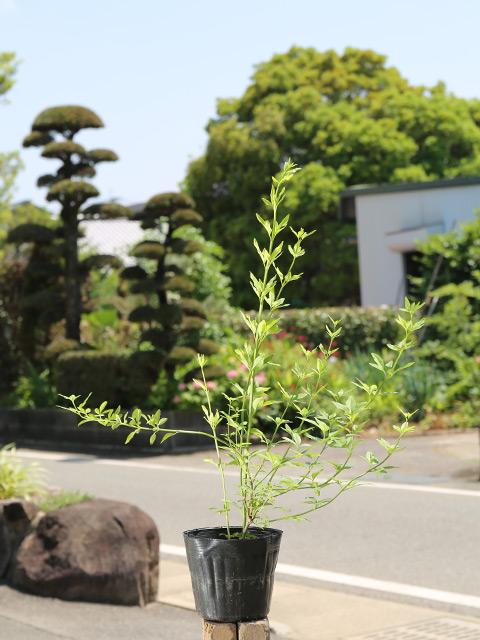 ウンナンオウバイ 0.6m15cmポット 15本セット 送料無料【1年間枯れ保証】【低木】