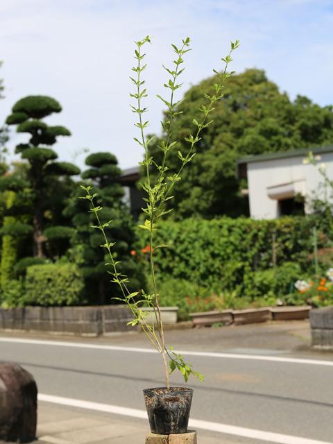 ウンナンオウバイ 0.7m10.5cmポット 15本セット 送料無料【1年間枯れ保証】【低木】