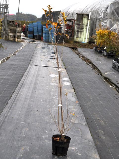 オウゴンイボタノキ 1.0m15cmポット 4本セット 送料無料【1年間枯れ保証】【山林苗木】