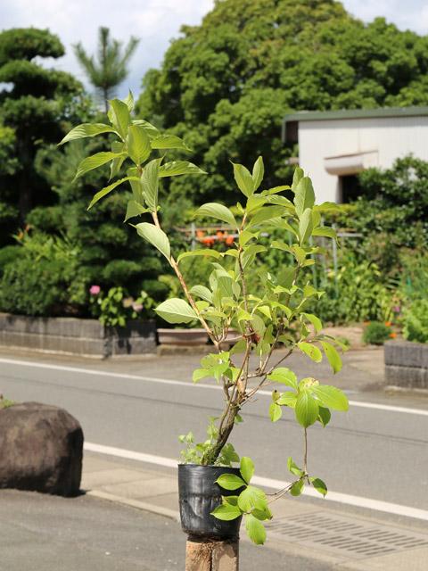 【1年間枯れ保証】【春に花が咲く木】ハコネウツギ 0.8m15cmポット 8本セット 送料無料