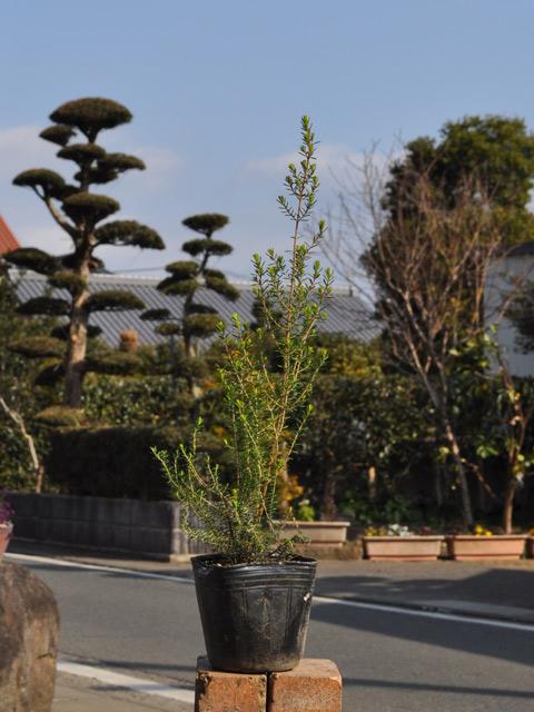 ジャノメエリカ 7.5cmポット 8本セット 送料無料【1年間枯れ保証】【低木】