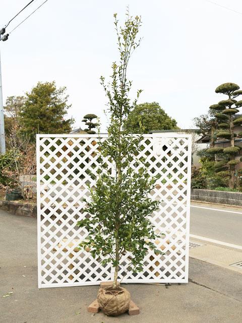 シイモチ単木 2.5m露地 1本【1年間枯れ保証】【シンボルツリー常緑】