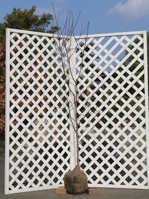 アーモンド単木 1.5m露地 1本【1年間枯れ保証】【シンボルツリー落葉】