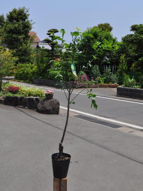 ウメ/青軸 15cmポット  3本セット 送料無料【1年間枯れ保証】【春・夏に収穫する果樹】