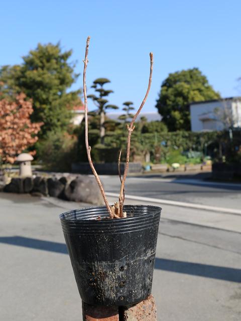 タマアジサイ 12cmポット 8本セット 送料無料【1年間枯れ保証】【春に花が咲く木】