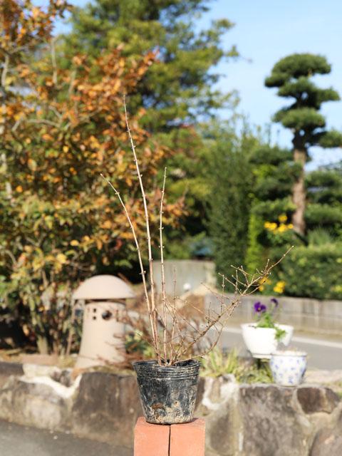ミヤマウグイスカグラ 0.3m12cmポット 8本セット 送料無料【1年間枯れ保証】【低木】