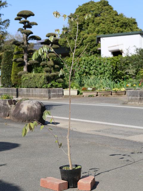 イヌブナ 1.2m18cmポット 6本セット【1年間枯れ保証】【山林苗木】