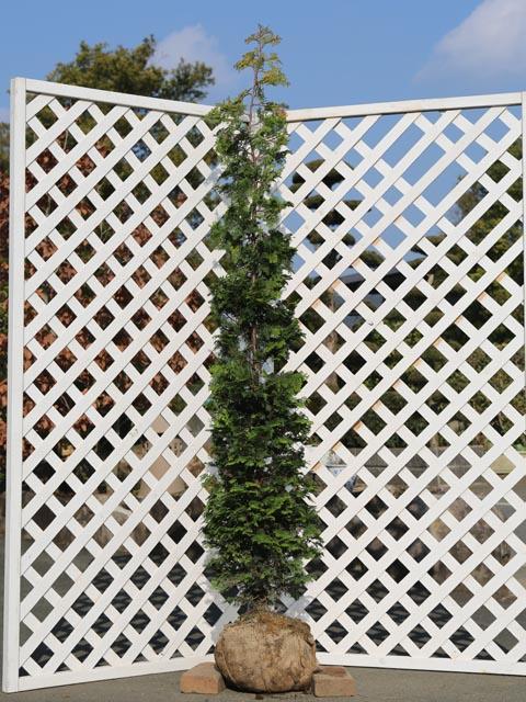 【1年間枯れ保証】【シンボルツリー常緑】オウゴンチャボヒバ 2.0m露地 2本セット
