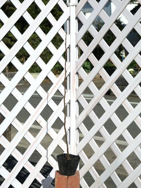 オオウラジロノキ 0.5m10.5cmポット 8本セット 送料無料【1年間枯れ保証】【山林苗木】
