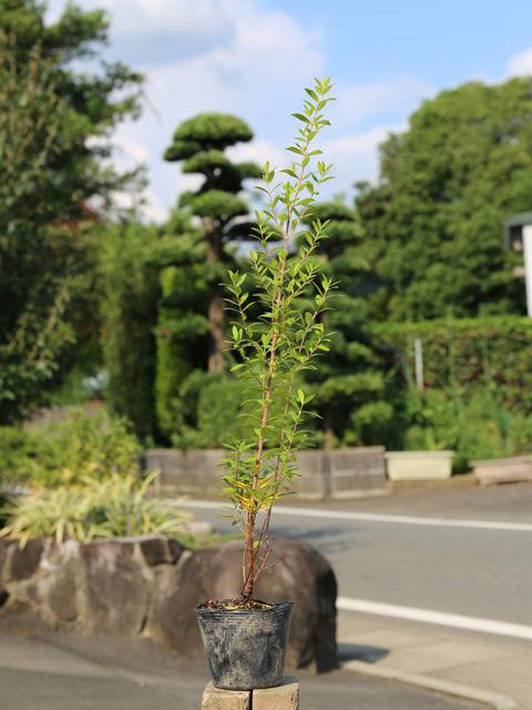 ギンバイカ 0.7m10.5cmポット 12本セット 送料無料【1年間枯れ保証】【生垣樹木】