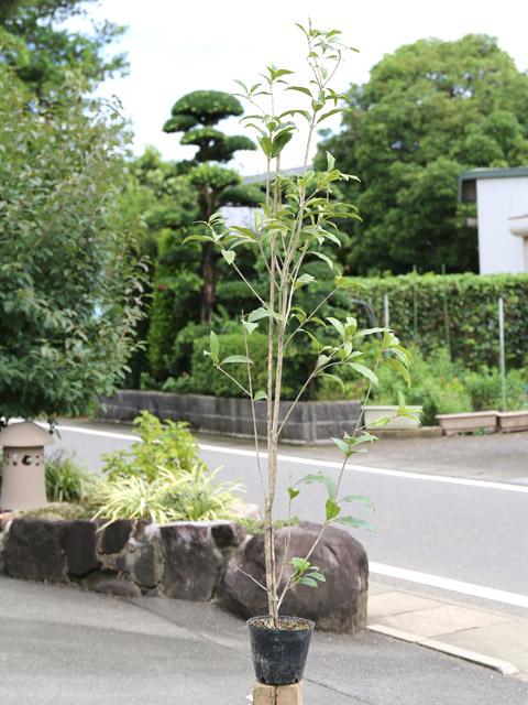 キンモクセイ 1.2m15cmポット 9本セット【1年間枯れ保証】【生垣樹木】