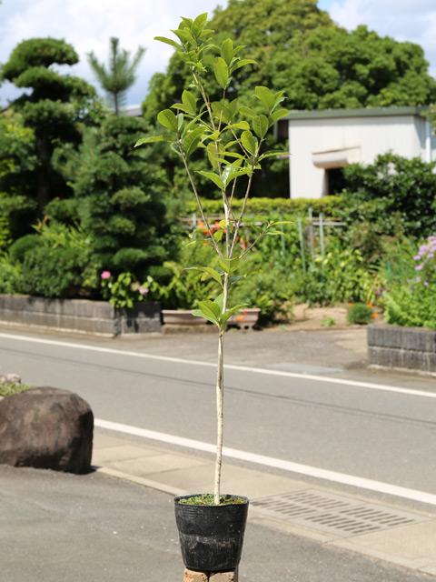 ギンモクセイ 0.8m15cmポット 12本セット 送料無料【1年間枯れ保証】【生垣樹木】