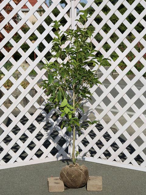四季咲きモクセイ 1.2m露地 1本【1年間枯れ保証】【秋冬に花が咲く木】