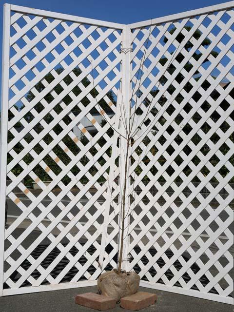 カツラ単木 1.2m露地 2本セット 送料無料【1年間枯れ保証】【葉や形を楽しむ木】