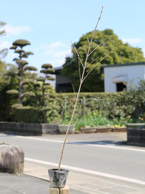 ガマズミ 0.5m10.5cmポット 10本セット 送料無料【1年間枯れ保証】【葉や形を楽しむ木】
