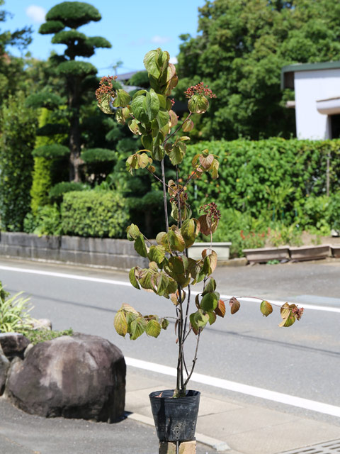 ガマズミ 1.0m15cmポット 5本セット 送料無料【1年間枯れ保証】【葉や形を楽しむ木】