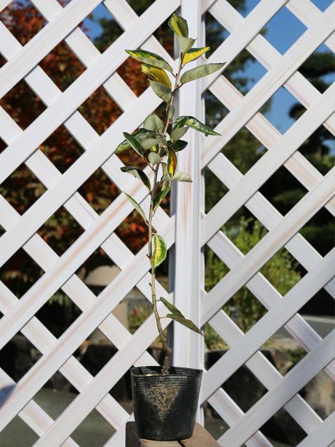 斑入りグミ 0.4m10.5cmポット 12本セット 送料無料【1年間枯れ保証】【葉や形を楽しむ木】