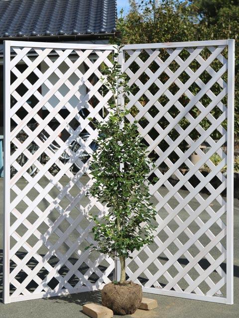 クリスマスホーリー 1.7m露地 2本セット 送料無料【1年間枯れ保証】【葉や形を楽しむ木】