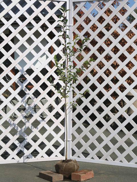 クロガネモチ 1.2m露地 1本【1年間枯れ保証】【葉や形を楽しむ木】