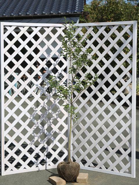 クロガネモチ 1.5m露地 2本セット 送料無料【1年間枯れ保証】【葉や形を楽しむ木】