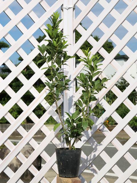 ゲッケイジュ 0.5m15cmポット 8本セット 送料無料【1年間枯れ保証】【葉や形を楽しむ木】