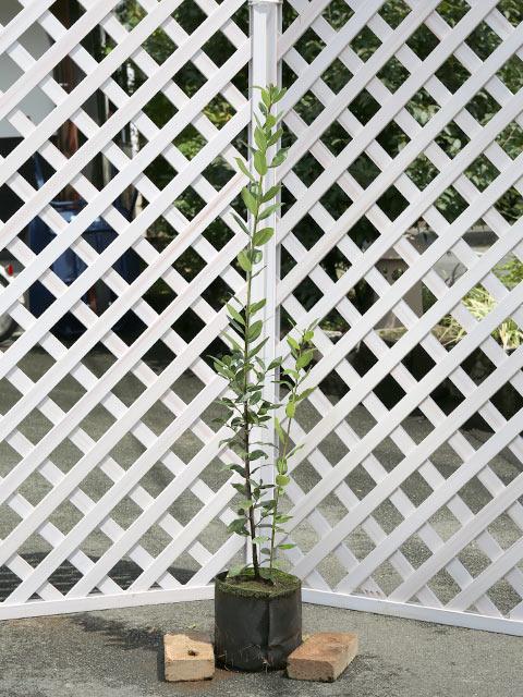 ゲッケイジュ 1.2m露地 2本セット 送料無料【1年間枯れ保証】【葉や形を楽しむ木】