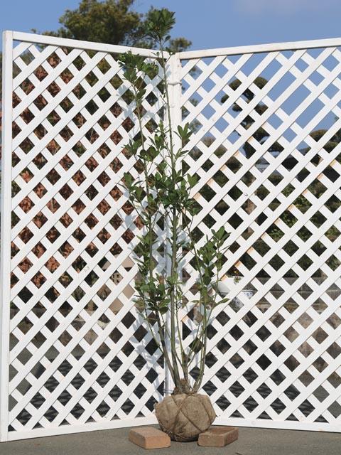 ゲッケイジュ 1.5m露地 1本【1年間枯れ保証】【葉や形を楽しむ木】