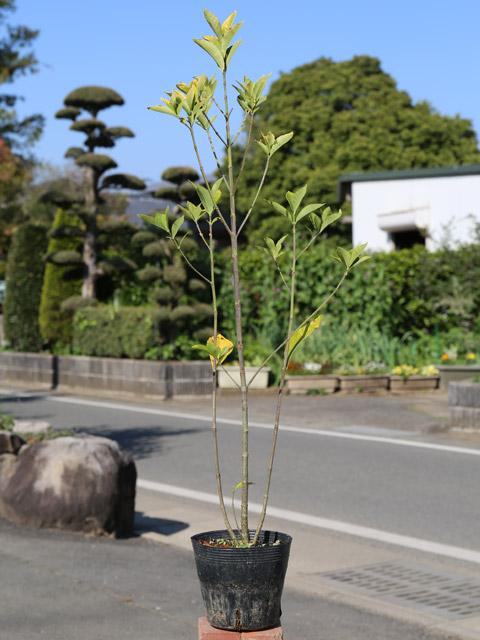 クチナシ 0.6m15cmポット 10本セット 送料無料【1年間枯れ保証】【低木】