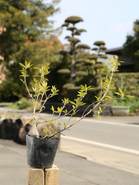 人気上昇中 お値打ち価格で 清楚な花 ヒメクチナシ 0.2m10.5cmポット 14本セット 送料無料 低木 1年間枯れ保証