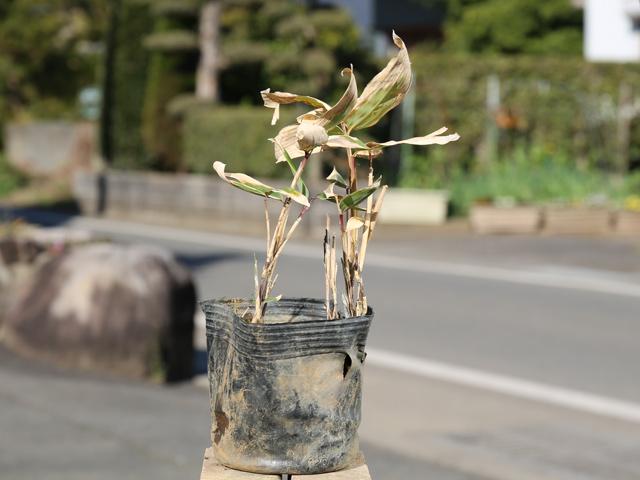 クマザサ 10.5cmポット 25本セット 送料無料【1年間枯れ保証】【笹類&芝生】