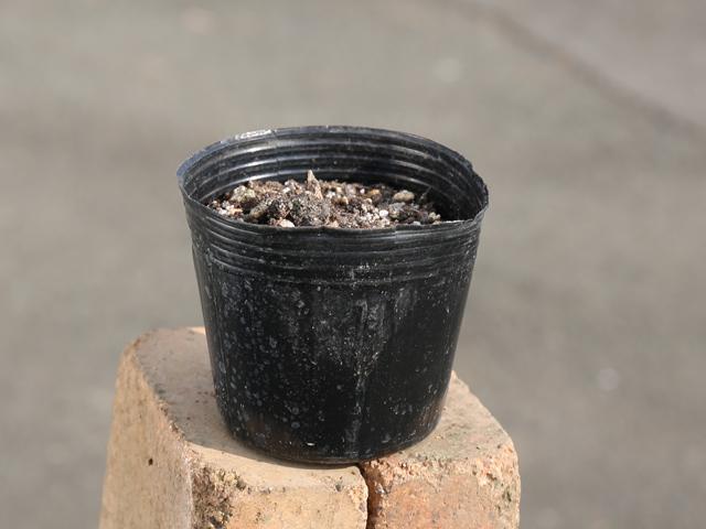 片栗粉になる カタクリ メーカー直売 9.0cmポット 即納最大半額 10本セット 山野草 1年間枯れ保証 送料無料